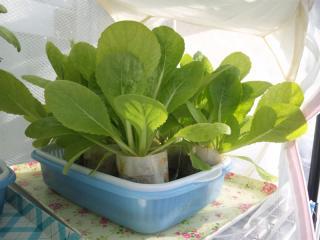 2010.11.29 白菜(トレー栽培1)