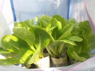 2010.12.19 白菜2