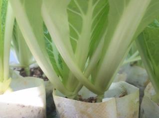 2010.12.19 白菜3