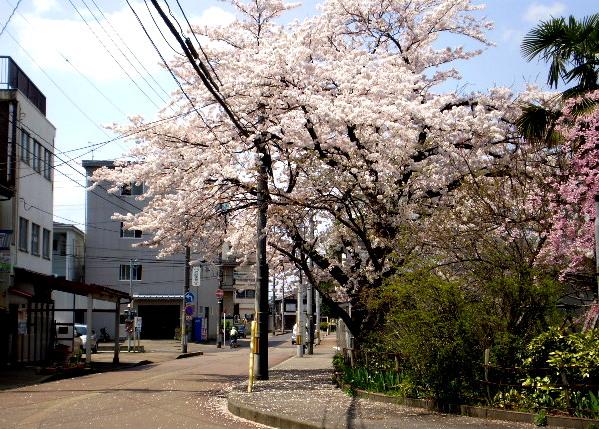 桜満開ー2