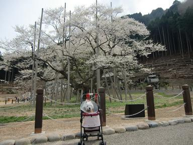 根尾の薄墨桜3