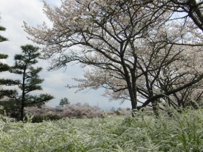 sakurayanagi