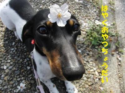 桜デイジー