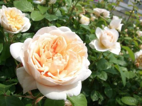薔薇まつり10