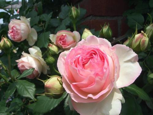 薔薇まつり3