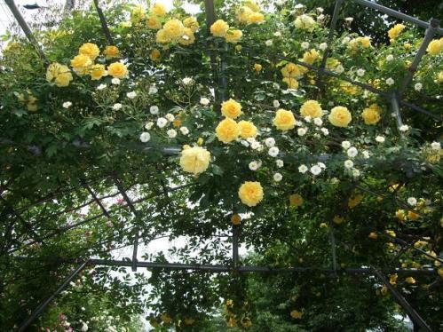 薔薇まつり6