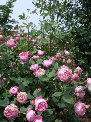 薔薇まつり7