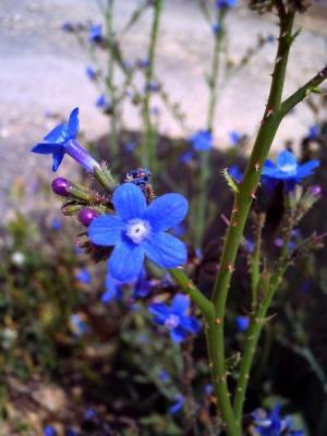 ペトラの青い花