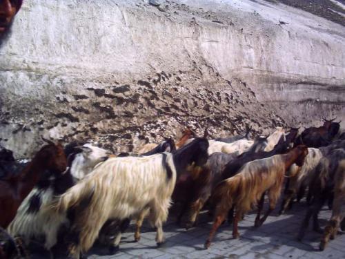 ヤギの群れ