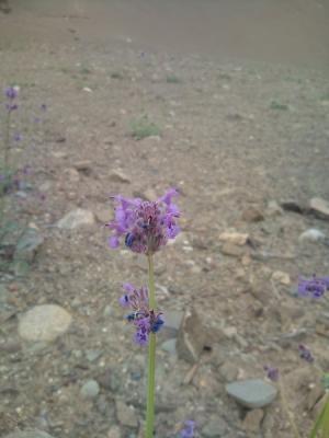 ラダックの花