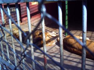 寝てるライオン