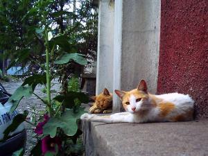 アディスアベバの猫.jpg