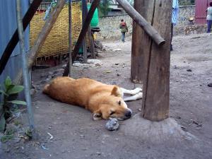 ラリベラの犬
