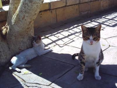 エドフの猫