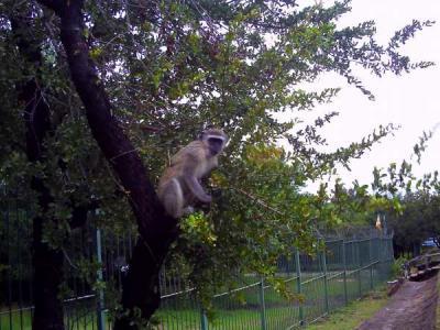 ビクトリアフォールズ近くの猿