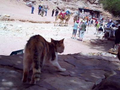ラクダと共生する猫