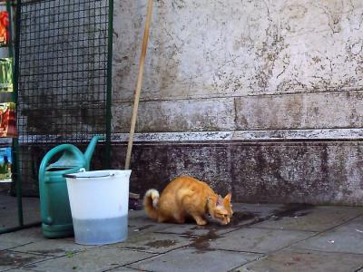 水のんでる猫