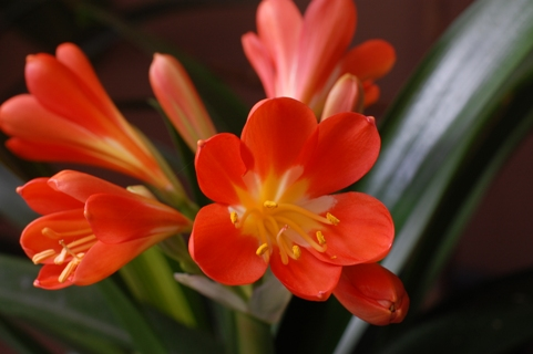 クンシラン オレンジ