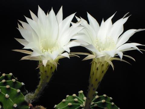 短毛丸の開花
