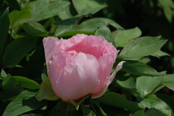 唐津牡丹園 (95)
