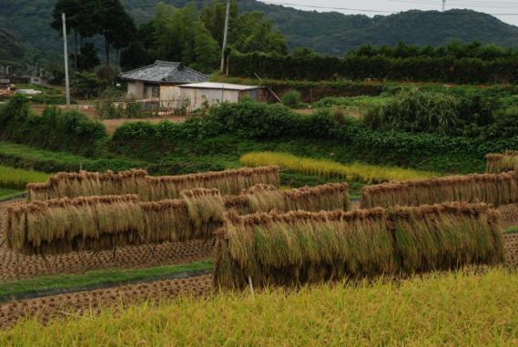 2010年9月26日大中尾棚田 (22)