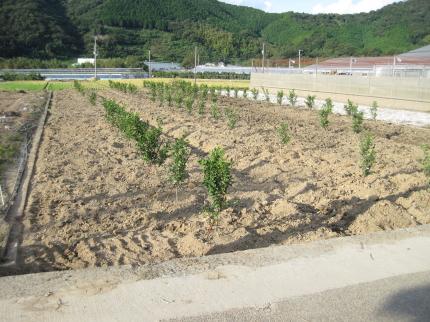 復旧後のデコポン畑