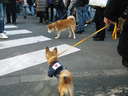 2012.2.19韓国は即刻竹島から出て行け日本国民による大小型日の丸愛国犬と規模デモin浅草(愛国犬)