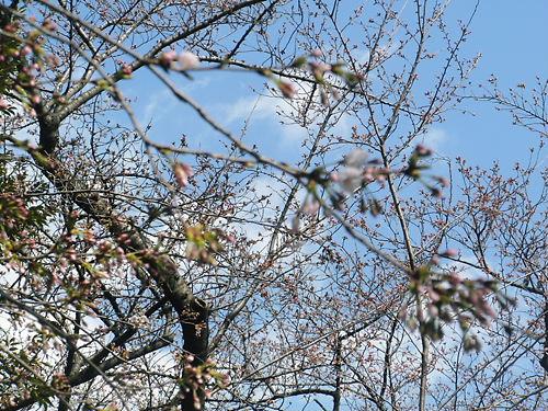 平成24年4月1日のソメイヨシノの標本木(東京)