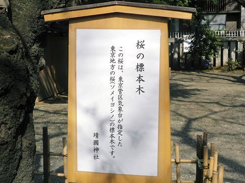 平成24年3月31日に東京の桜の開花を告げた靖国神社境内の能楽堂の横にあるソメイヨシノの標本木には、多くの人が集まっていた