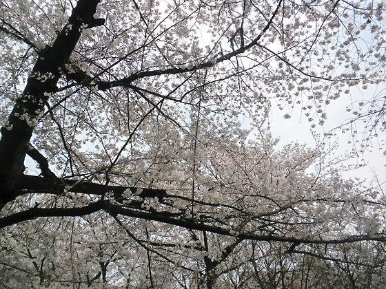 平成24年4月7日のソメイヨシノの標本木(東京)