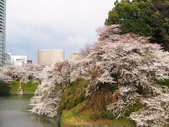 千鳥ヶ淵2012年4月7日桜満開