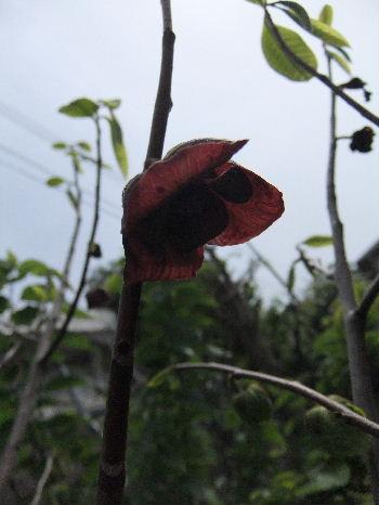 ポポーの花
