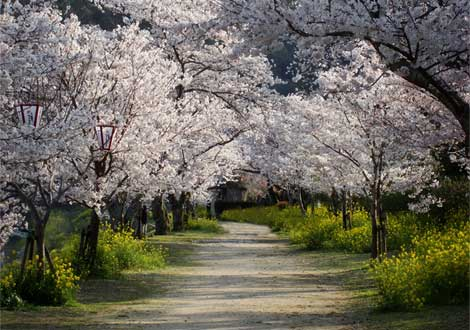 cherry-trees-walkway-ga.jpg