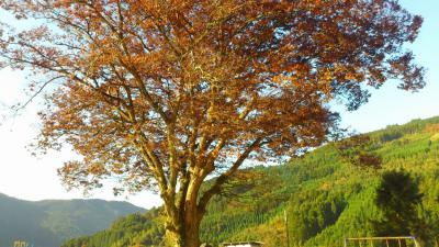 学校の楓の木c
