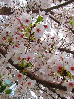 4-13桜2-d