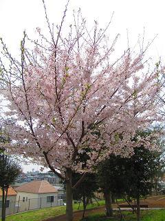 4-13桜1-d
