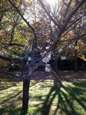 十月桜_convert_20141123223210