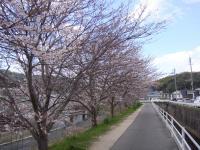 散歩コース桜並木