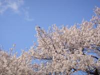 桜とつばめ