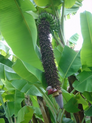 banana8.jpg