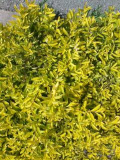沖縄の黄色花 縮小SN3R0824_convert_20120618183205