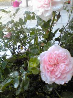 rose2010.jpg