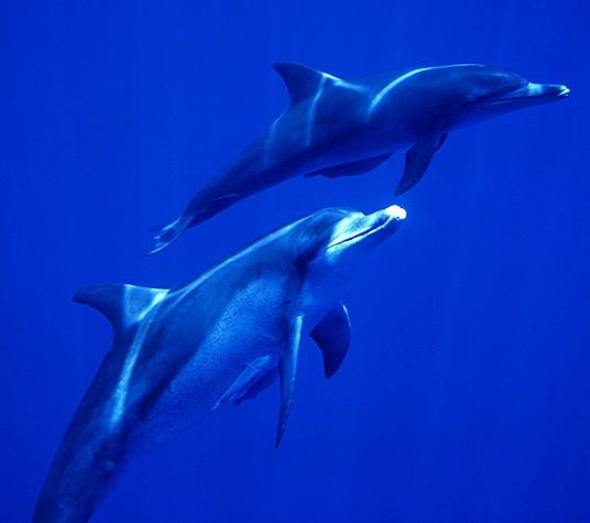 ミナミバンドウイルカ