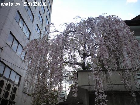 10.04桜1、CA391003