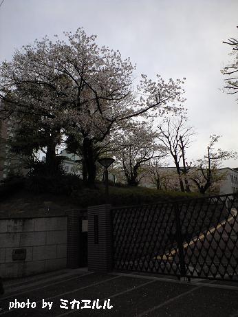 10.04桜3、CA391009