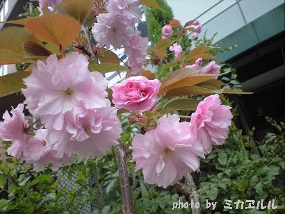 10.04八重桜CA391016