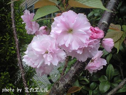 10.04八重桜CA391017