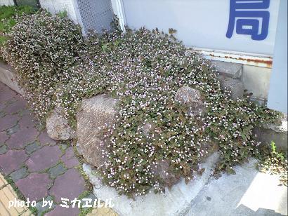 10.05道端の花あふれとりますなCA391067