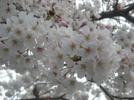 神田川の桜09年4月5日+010_convert_20110417212040