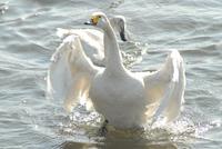 159白鳥
